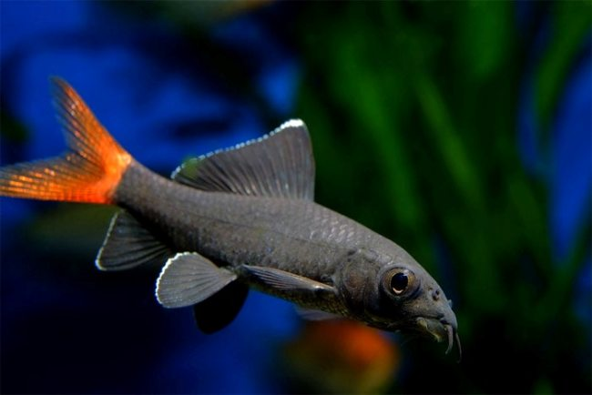 двухцветный лабео в аквариуме