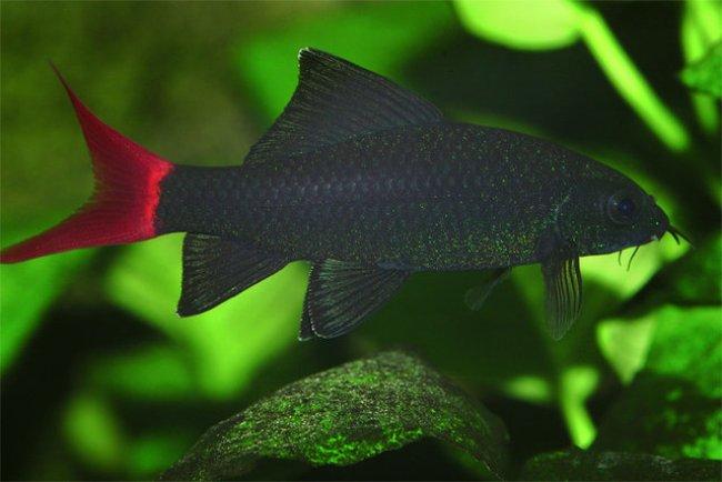рыбка лабео биколор в аквариуме на фоне растений
