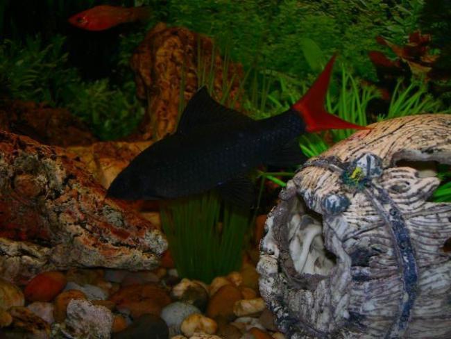 рыбка семейства карповых двухцветный лабео в аквариуме