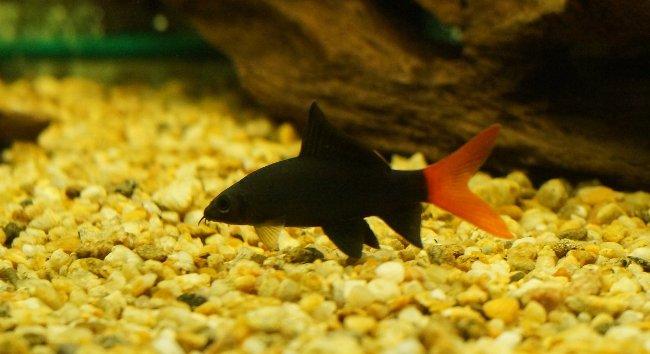 лабео биколор плавает у дна в аквариуме