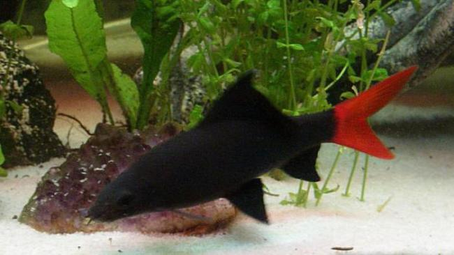 рыбка семейства карповых двухцветный лабео у дна в аквариуме