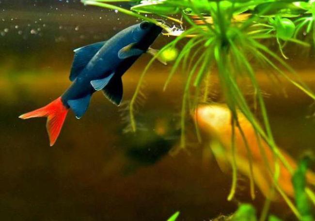 аквариумная рыбка семейства карповых двухцветный лабео