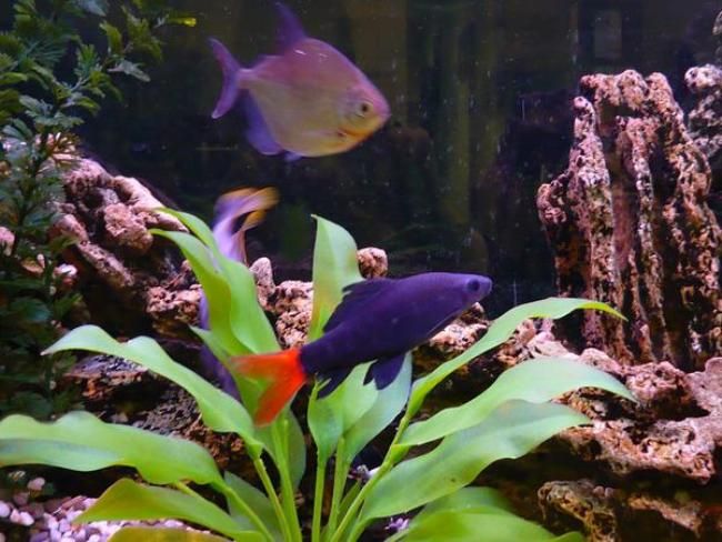 лабео биколор в аквариуме