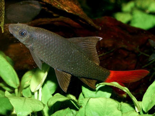 рыбка семейства карповых лабео биколор в аквариуме