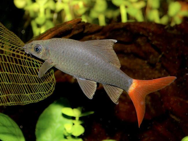 рыбка двухцветный лабео в аквариуме