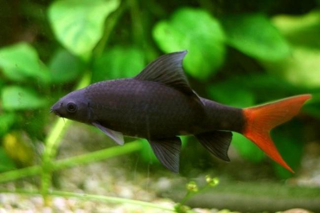 рыбка семейства карповых двухцветный лабео на фоне растений в аквариуме
