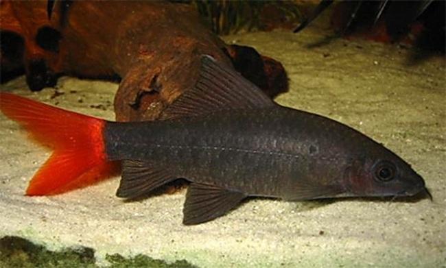 рыбка семейства карповых лабео биколор у дна в аквариуме