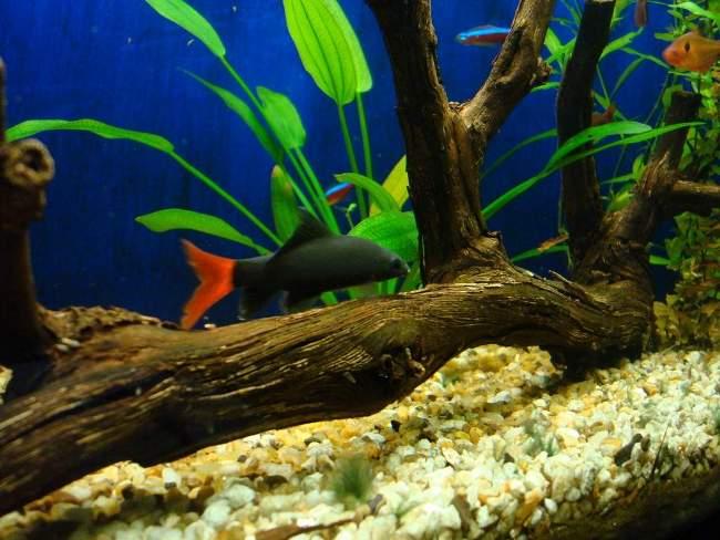 двухцветный лабео плавает в аквариуме у коряги