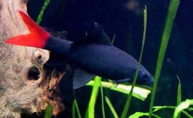 аквариумная рыбка семейства карповых двухцветный лабео или лабео биколор
