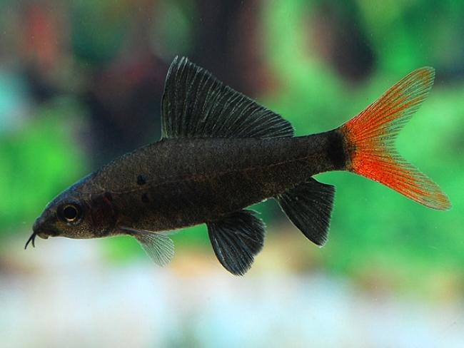 аквариумная рыбка семейства карповых лабео биколор