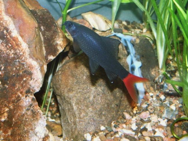 лабео биколор плавает у камней в аквариуме