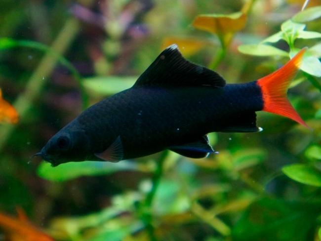рыбка семейства карповых лабео биколор плавает в аквариуме на фоне растений