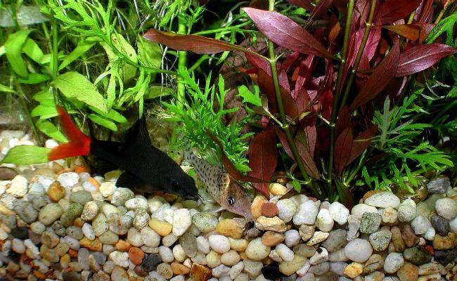 рыбка лабео биколор плавает у дна в аквариуме