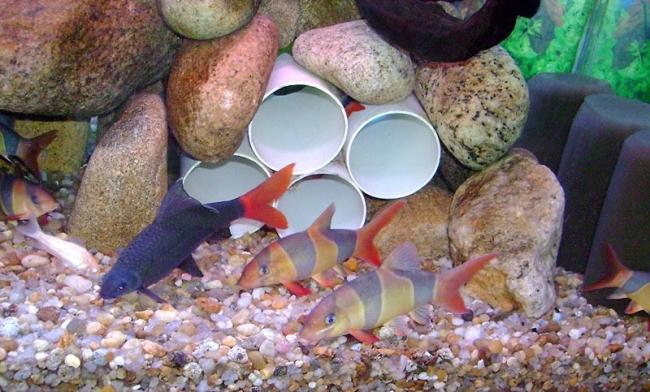 лабео биколор плавает в аквариуме с другими рыбками
