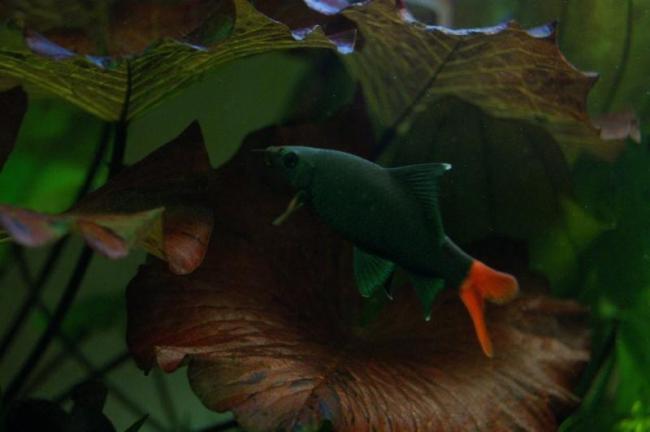 лабео биколор плавает в аквариуме среди растений