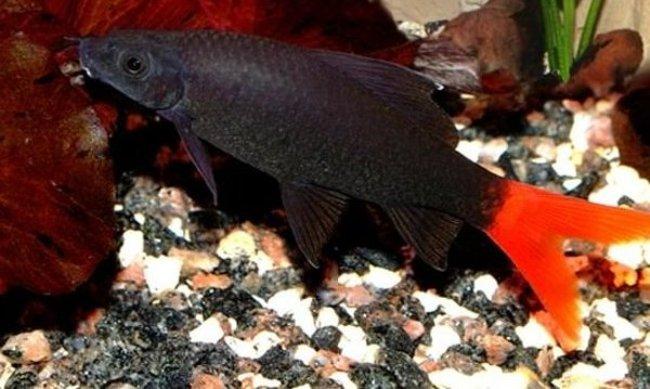 рыбка семейства карповых лабео биколор плавает у дна в аквариуме