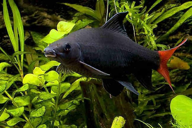 рыбка семейства карповых двухцветный лабео плавает на фоне растений в аквариуме