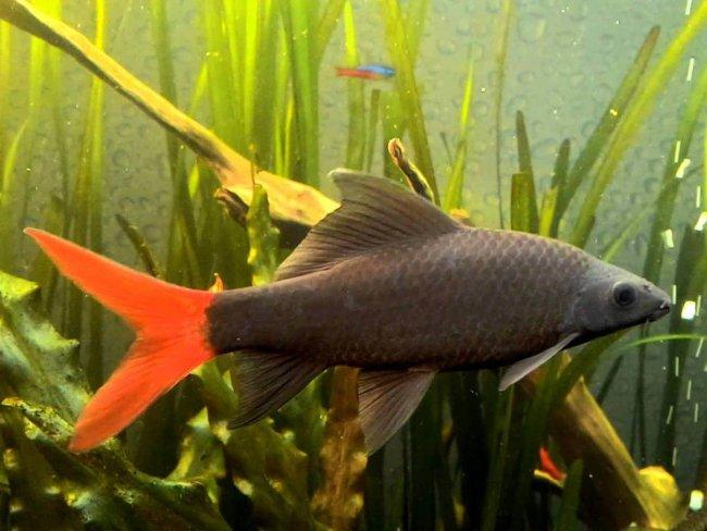 рыбка лабео биколор плавает в аквариуме
