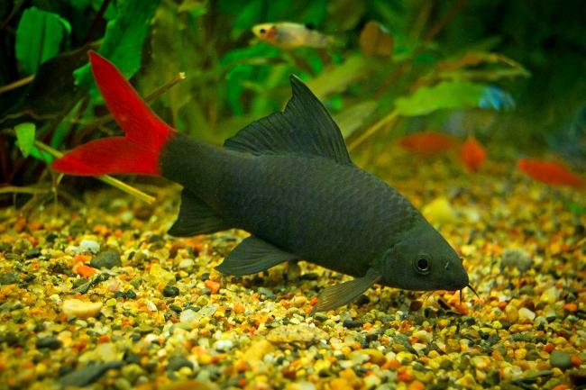 лабео биколор плавает в аквариуме