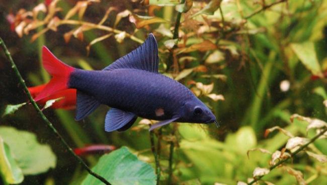 рыбка двухцветный лабео или лабео биколор в аквариуме