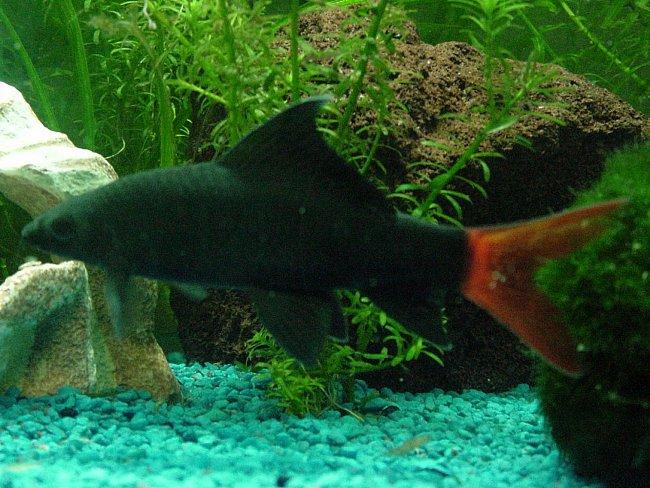 рыбка семейства карповых лабео биколор