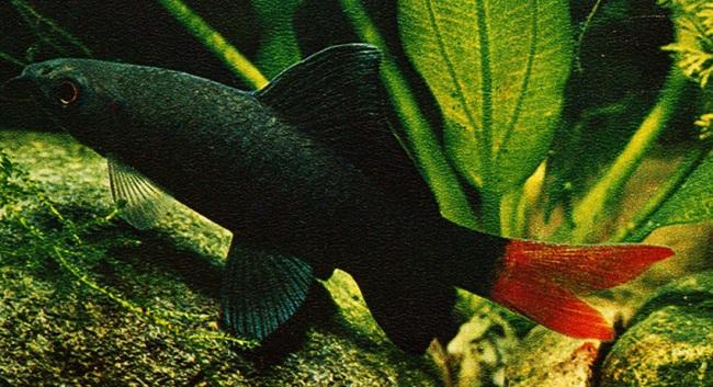 рыбка семейства карповых двухцветный лабео