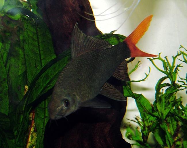 рыбка двухцветный лабео плавает в аквариуме