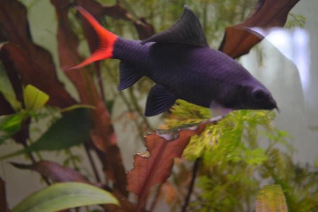 рыбка двухцветный лабео или лабео биколор