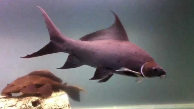 рыбка черный лабео или черный морулис