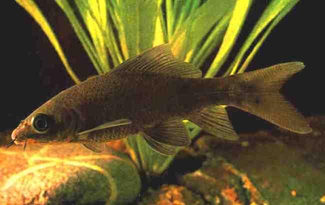 аквариумная рыбка черный лабео или черный морулис