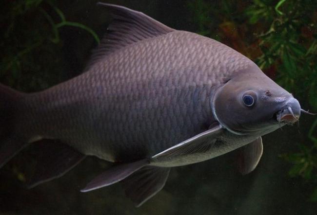 рыбка черный лабео или черный морулис в аквариуме