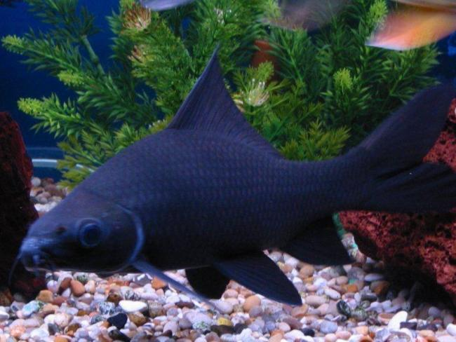 черный морулис или черный лабео в аквариуме