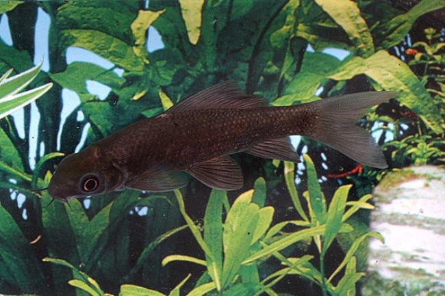 черный лабео в аквариуме на фоне растений