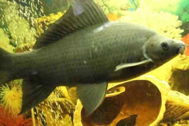 черный лабео в аквариуме