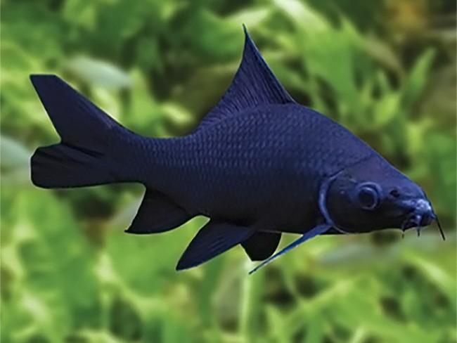 рыбка черный лабео