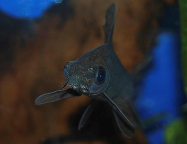 аквариумная рыбка черный лабео
