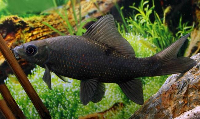 рыбка черный лабео в аквариуме