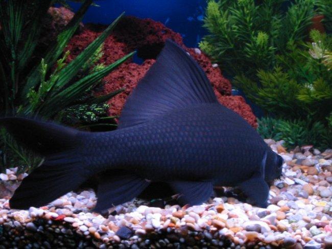 черный лабео плавает у дна в аквариуме