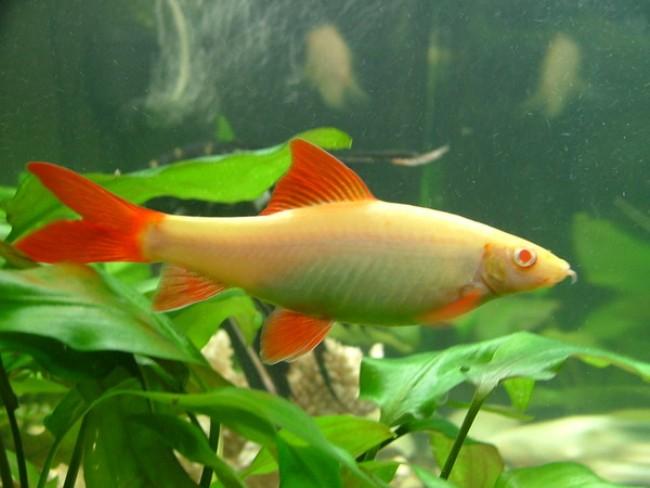 рыбка лабео альбинос