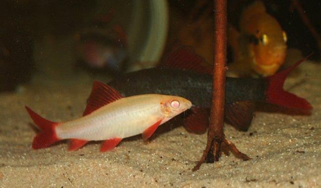 лабео альбинос в аквариуме с другими рыбками