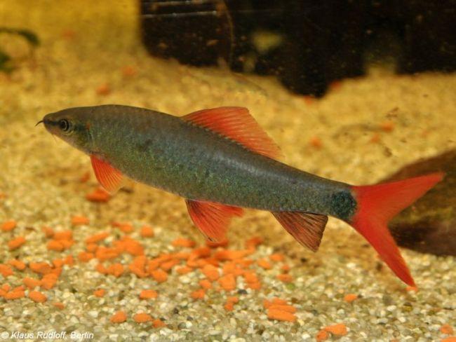 лабео зеленый или френатус плавает у дна в аквариуме