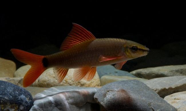 таиландский лабео плавает в аквариуме у камней