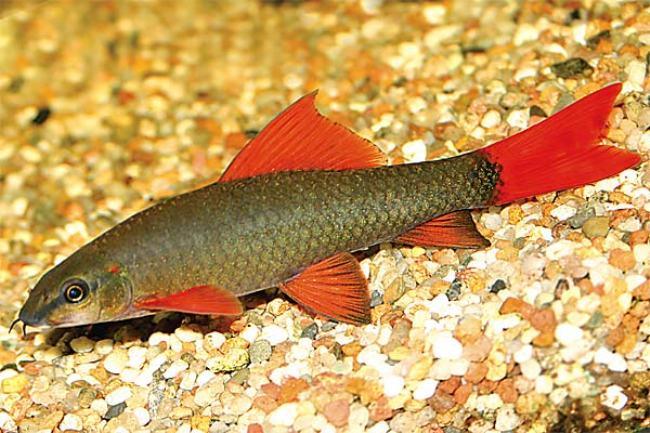 лабео зеленый или таиландский плавает у дна в аквариуме