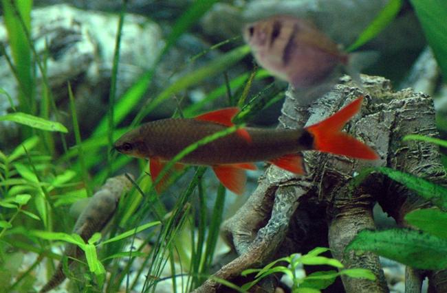 лабео френатус плавает в аквариуме среди растений