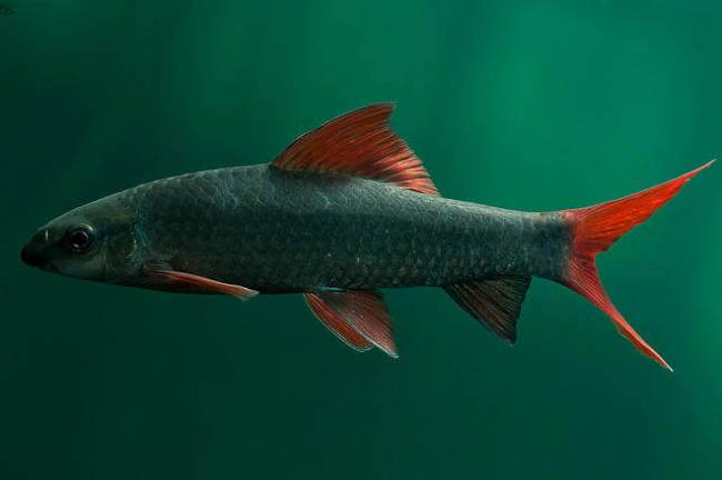 лабео зеленый или френатус в аквариуме