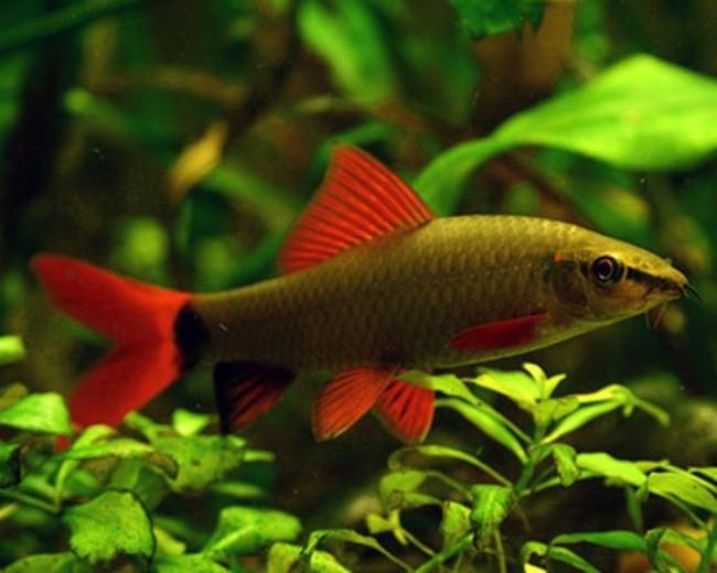 лабео френатус в аквариуме на фоне растений