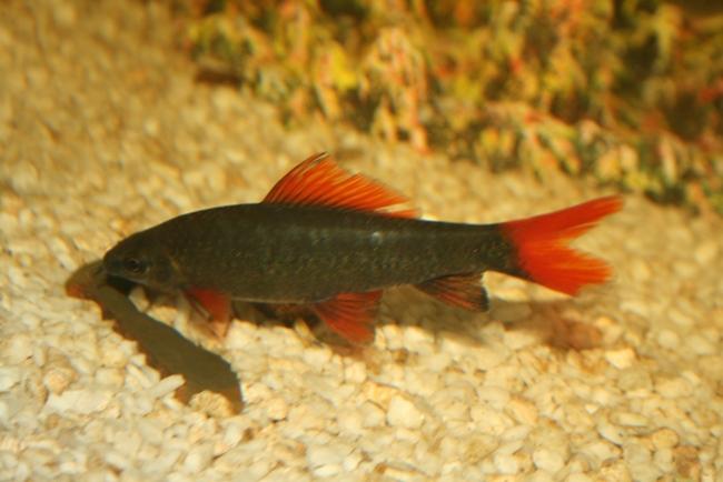 лабео френатус плавает у дна в аквариуме