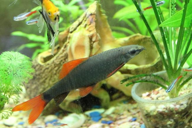 лабео зеленый в аквариуме с другими рыбками