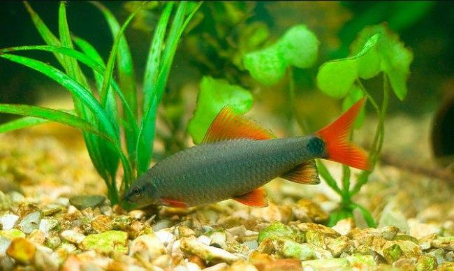 лабео зеленый плавает у дна в аквариуме рядом с растениями