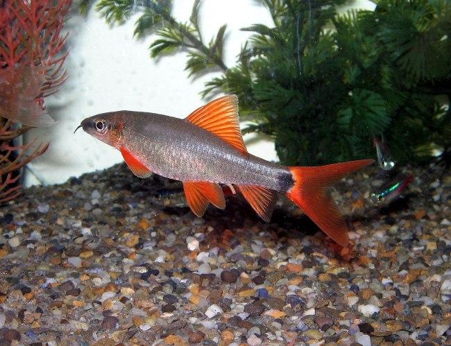 аквариумная рыбка лабео зеленый